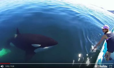 Orca Encounter Sea of Cortez